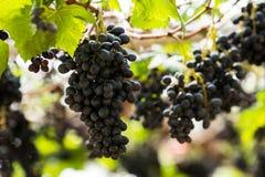 Viñedo con la uva fresca orgánica para la fruta y el vino Fotos de archivo