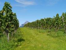 Viñedo con las uvas de vino azules Fotografía de archivo libre de regalías