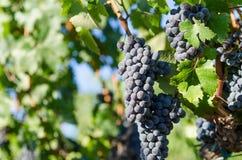 Viñedo con las uvas maduras listas para la cosecha Fotografía de archivo