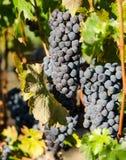 Viñedo con las uvas maduras listas para la cosecha Imágenes de archivo libres de regalías
