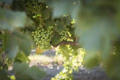 Viñedo con las uvas no maduras Fotos de archivo