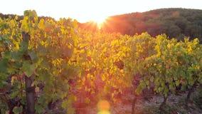 Viñedo con las uvas oscuras para el vino en la puesta del sol almacen de metraje de vídeo