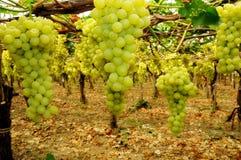 Viñedo, cosecha de la uva Imagenes de archivo