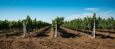 Viñedo, cultivo de la uva, vid Fotografía de archivo
