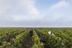Viñedo de Campagne de los trabajadores en Verzernay Foto de archivo libre de regalías