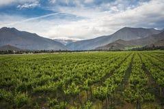 Viñedo de la primavera, valle de Elqui, los Andes, Chile foto de archivo