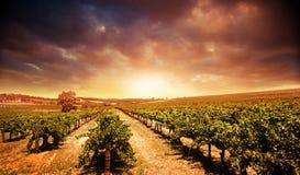 Viñedo de la puesta del sol Fotografía de archivo libre de regalías