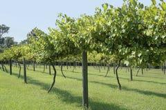 Viñedo de la uva de la muscadino Imagenes de archivo