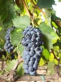 Viñedo de las uvas Imagen de archivo libre de regalías