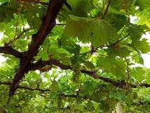 Viñedo de las uvas con las nuevas frutas Imagen de archivo