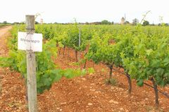 Viñedo de las uvas de Mantonegro Foto de archivo libre de regalías