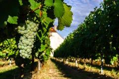 Viñedo de las uvas de vino en la puesta del sol, otoño en Francia Imagen de archivo
