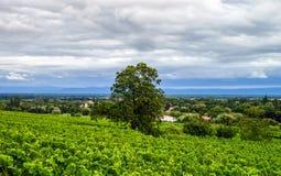 Viñedo de las uvas de vino en la puesta del sol, otoño en Francia Fotos de archivo libres de regalías