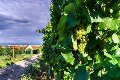 Viñedo de las uvas de vino en la puesta del sol, otoño en Francia Fotografía de archivo