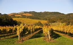 Viñedo de Sonoma con las colinas de oro Imágenes de archivo libres de regalías