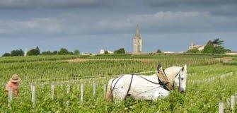 Viñedo de trabajo con un caballo-santo-Emilion del blanco del proyecto Foto de archivo