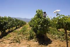 Viñedo del blanc de Sauvignon Foto de archivo libre de regalías