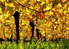 Viñedo del otoño fotografía de archivo libre de regalías