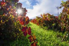 Viñedo del otoño por la mañana fotografía de archivo libre de regalías