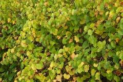 Viñedo durante el otoño I Imagen de archivo