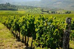 Viñedo en Chianti, región de Toscana fotos de archivo libres de regalías