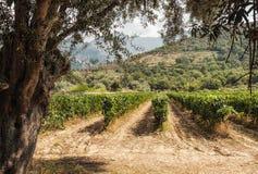 Viñedo en el valle de Regino en la región de Balagne de Córcega Imagen de archivo libre de regalías