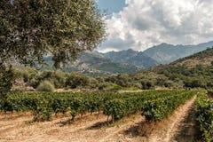 Viñedo en el valle de Regino en la región de Balagne de Córcega Foto de archivo