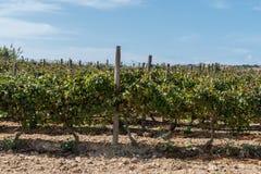 Viñedo en Gozo para el seoson imágenes de archivo libres de regalías