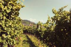Viñedo en Italia Foto de archivo libre de regalías