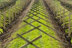 Viñedo en la región de la viticultura de Trentino Alto Adige, Italia septentrional Viñedo en primavera foto de archivo