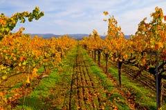 Viñedo en otoño Imagenes de archivo