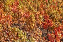 Viñedo en otoño Imagen de archivo libre de regalías