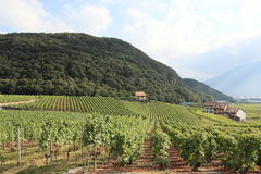 Viñedo en verano, Suiza Fotografía de archivo