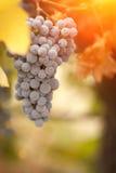 Viñedo enorme hermoso de la uva por la mañana Sun y la niebla Fotografía de archivo libre de regalías