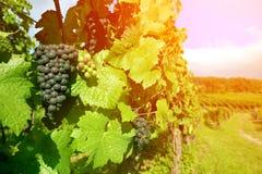 Viñedo negro de la uva, Alsacia, Francia Imagenes de archivo