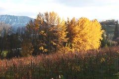 Viñedo pintoresco, filas de la vid, árboles amarillos en otoño fotografía de archivo libre de regalías