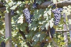 Viñedo por completo de uvas púrpuras y de hojas verdes fotos de archivo