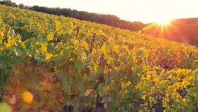 Viñedo por la tarde en la puesta del sol en otoño - cámara de la toma panorámica metrajes