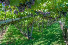 Viñedo, ruta tirolesa del sur del vino, Merano, Italia Foto de archivo libre de regalías