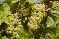 Viñedo - uvas y hojas de la vid Imagenes de archivo