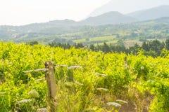 Viñedo verde en las colinas de la isla de Cerdeña en luz del sol fotografía de archivo libre de regalías