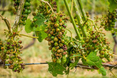 Viñedo y uvas dañados y cosecha destruida después de stor severo Fotografía de archivo