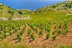 Viñedos, costa meridional de la isla de Hvar, al oeste de Imágenes de archivo libres de regalías