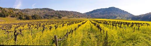 Viñedos de Napa Valley y mostaza de la primavera Imagenes de archivo