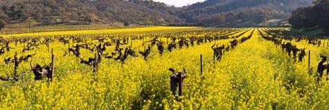 Viñedos de Napa Valley y mostaza de la primavera Imágenes de archivo libres de regalías