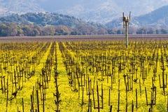 Viñedos de Napa Valley y mostaza de la primavera Fotografía de archivo