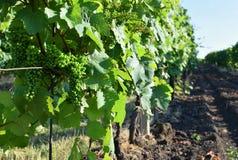 Viñedos debajo de Palava República Checa - región del sur del vino de la región de Moravian fotos de archivo libres de regalías