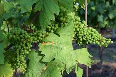 Viñedos debajo de Palava República Checa - región del sur del vino de la región de Moravian imágenes de archivo libres de regalías