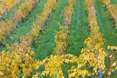 Viñedos del otoño en Banyalbufar, Majorca imagen de archivo