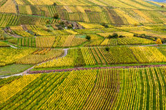 Viñedos en colores del otoño Fotos de archivo libres de regalías